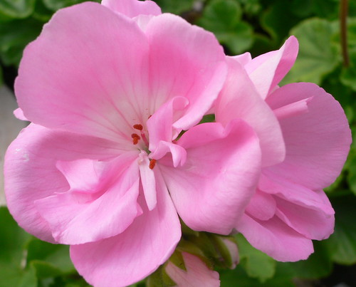 Types of flowers pretty pink geranium flowers pictures pretty pink geranium flowers pictures mightylinksfo