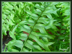 Nephrolepis falcata cv. furcans (Fishtail Swordfern) in our garden, May 2009