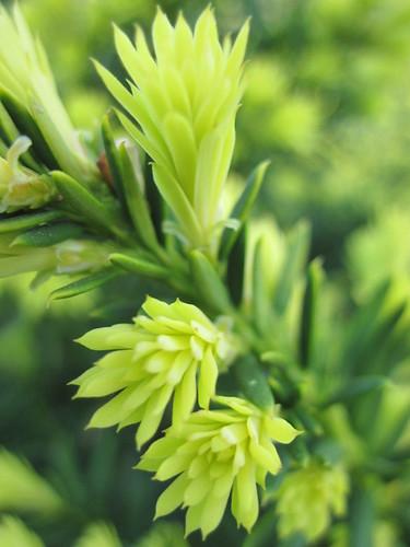 taxaceae taxuscuspidata japaneseyew nanaaurescens