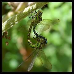 Southern Hawker Dragonfly (Lins~) Tags: nature d50 insect nikon bravo dragonflies dragonfly wildlife naturesfinest blueribbonwinner flickrsbest anawesomeshot superbmasterpiece diamondclassphotographer flickrdiamond takenbylins goldstaraward