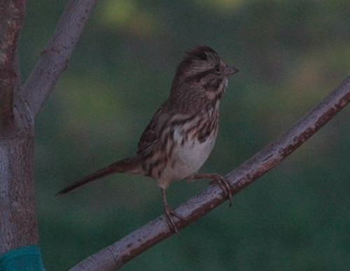 ID REQUEST: Unknown Sparrow