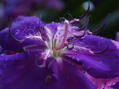 (_Zahira_) Tags: flower macro lafotodelasemana flor olympus nd nr violeta ngr e500 uro 100vistas 35mmmacro p1f1 top20purple