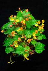 Begonia prismatocarpa (Eric Hunt.) Tags: orange flower yellow miniature begonia begoniaceae orchidarium ubcbotanyphotooftheday begoniaprismatocarpa