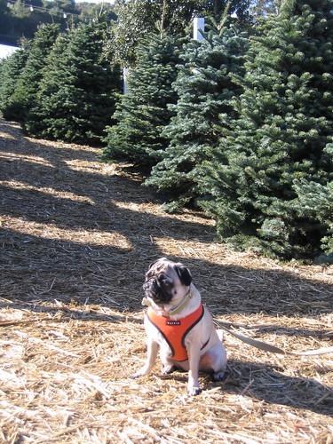 At the Christmas tree lot