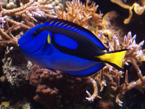 Blue Tang by Charlene-SJ, on Flickr