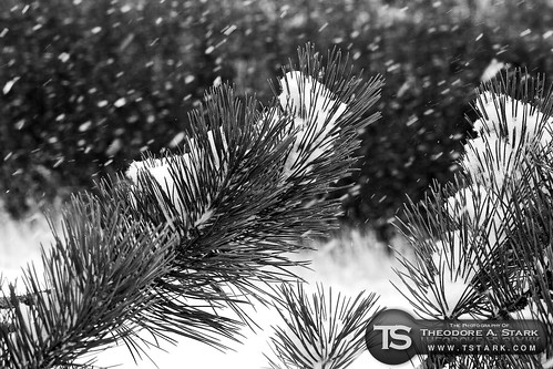 Snow Falling on Pine