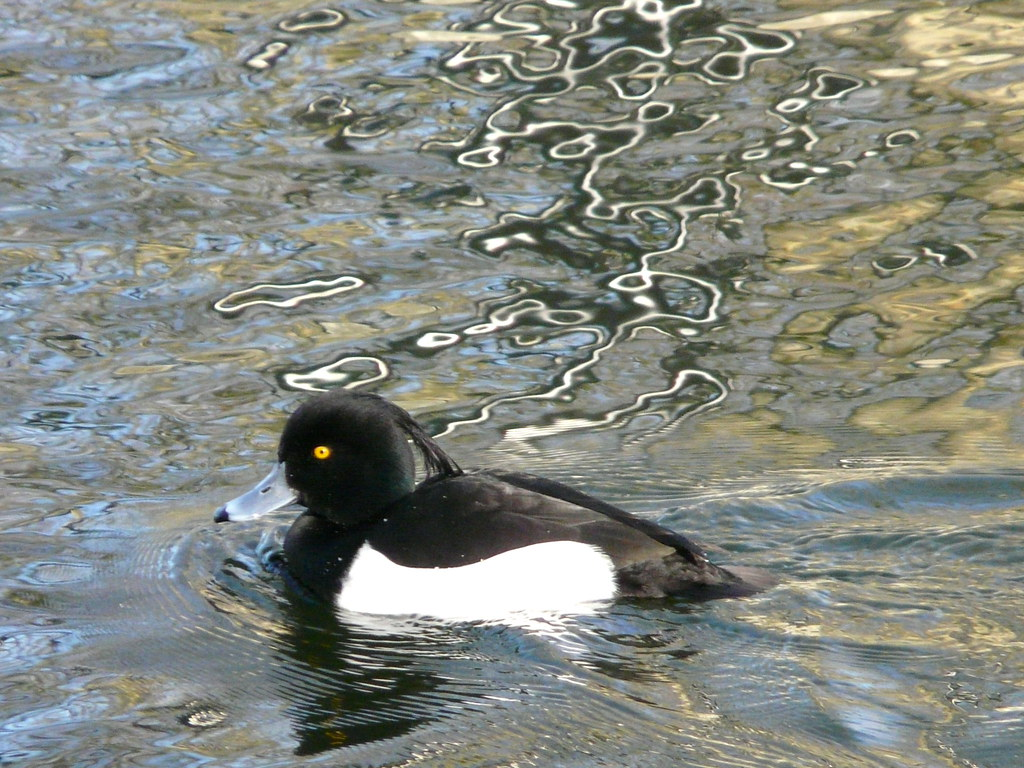 pictures of duck tufted animal photos