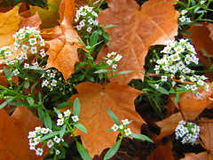 sprung (lifeofshoe) Tags: flowers autumn fallleaves fall leaves spring sprung alyssum