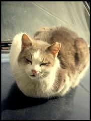 Is this car your's? (sevgi_durmaz) Tags: cats cute animal animals cat nap sweet sleepy cuties streetcats impressedbeauty streetanimals
