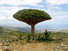 Socotra Dragon Tree (Dracaena cinnabari) (twiga_swala) Tags: ocean tree blood dragon plateau indian yemen dracaena dragontree socotra soqotra cinnabari dragonbloodtree