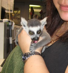 Baby Lemur Noms Grape