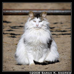 Beware of the Fluffy Barn Cat! (Rock and Racehorses) Tags: barn cat farm nj kitty maneater bestofcats catinpose furrycatfriends