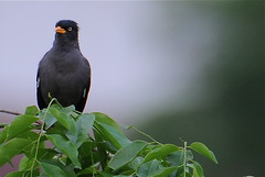 mynah on a branch (PixCrazy) Tags: nikondigital d300 passionphotography tepasaste theperfectphotographer nikond300users