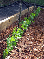 row of sugar snap peas