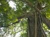 96.11.16竹崎鄉光華村茄苳風景區內的茄苳老樹DSCN3199