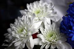 Soft touch (s@mar) Tags: flowers light white flower closeup canon soft close 450d canoneos450d