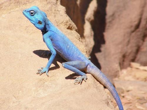 Agama azul del Sinai / Sinai Blue Agama (Pseudotrapelus sinaitus)