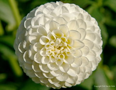 White (DirkVandeVelde back) Tags: europa europ europe belgie belgium belgica belgique buiten bloem antwerpen anvers antwerp mechelen malines malinas vrijbroekpark flower flora fleur dahlia white wit blanc sony