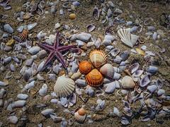 12 febbraio 2017, una giornata al mare... (adrianaaprati) Tags: mare sea shell conchiglia conchiglie shells coquille schale mer meer calma allaperto acqua water stellamarina starfish sand sabbia beach