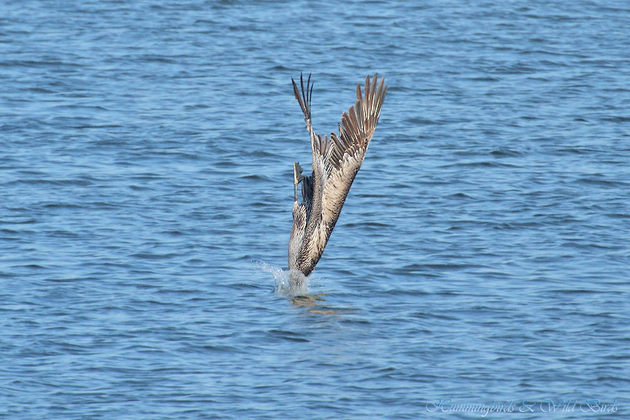 Brown-Pelican-041118