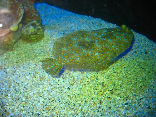 the flat fish