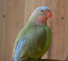 Princess Parrot (Aka Alexandra's Parrot) (ianmichaelthomas) Tags: friends birds healesvillesanctuary soe parrots animaladdiction australiannativebirds wildlifeofaustralia animalcraze impressedbeauty worldofanimals auselite naturewatcher healesvillevictoriaaustralia alexandrasparrot princessparrot happinessconservancy flickrlovers vosplusbellesphotos