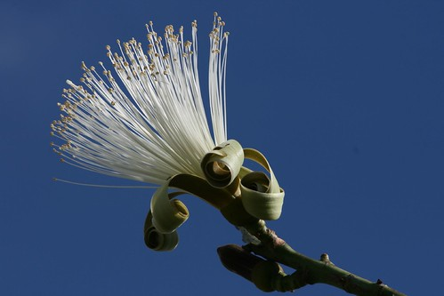 shaving brush tree 010
