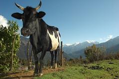 BHU-Inland-0604-67-OR (anthonyasael) Tags: asia peace bhutan peaceful takin thunder asael peacepeaceful bhutanlandthunderdragonmahayanabuddhism inlandbhutan thuderdragon anthonyasael