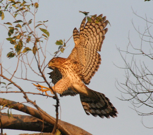 cooper's hawk (2)