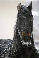frosted (Five eyes) Tags: winter horse brown snow black cold weather animal barn rural fence farm pasture february 2008 9068 thechallengefactory thepinnaclehof tphofweek76