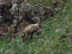 Stambecco 2005 (Andy050574) Tags: ticino hunting alpi montagna animali jager caccia