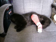 Spike in his cast. (Twev1701) Tags: broken cat jessica pennsylvania trevor leg cast spike barre wilkes shafer twev1701