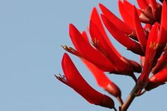 DSC05423 (ddsnet) Tags: sony α 700 α700 abigfave goldstaraward 麻園生態公園 花卉 flower 竹北 台灣 taiwan 新竹 hsinchu chupei 植物 plant 刺桐
