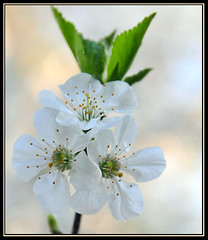 Cherry Pie on the Way... (Blue-Sky Pink) Tags: white flower cherry backyard nikon cherryblossoms d300 mywinners platinumphoto anawesomeshot diamondclassphotographer life~asiseeit imagesbytakache awesomeblossoms