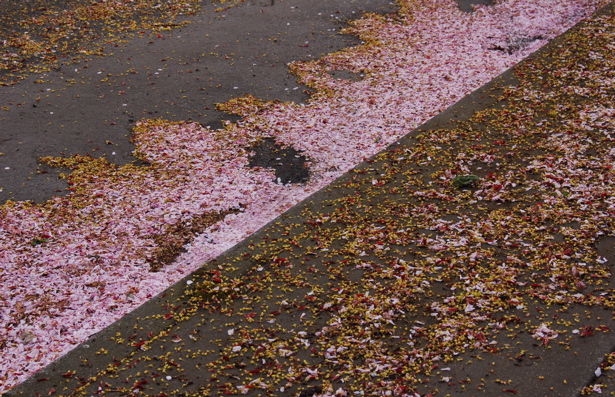 cherry_fallen_petals