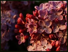 The sun is setting (Kirsten M Lentoft) Tags: sunset flower bravo purple searchthebest mail lilac bec rightplacerighttime firstquality mywinners impressedbeauty momse2600 infinestyle citrit goldstaraward multimegashot mmmuaahhhhhhhhhh sleeptightdearestseeyou kirstenmlentoft