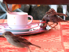 The Sparrow in the little Milk Jug (Batikart) Tags: travel macro bird nature animal closeup fauna canon table geotagged milk interestingness funny coffeecup wildlife natur explore sparrow lustig makro vgel 2008 tisch tier vogel milch canonpowershot spatz a610 milkjug kaffeetasse sperling canonpowershota610 milchknnchen 50faves i500 haussperling viewonblack batikart