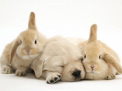 golden retriever puppy sleeping. Golden-Retriever-Puppy-