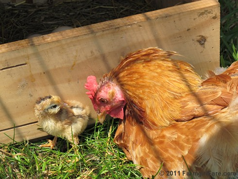 Baby chick and mama hen - Farmgirl Fare