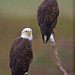 Bald Eagles in the Rain by Jim Sullivan