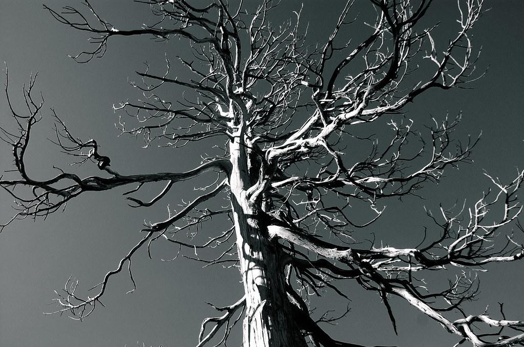 玉山圓柏枯木