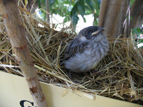 baby wattlebird