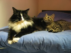 Moses and Tala Loungin! (veganmichele) Tags: rescue cute animal cat kitten tabby adorable kitty tuxedo spca efa coolestphotographers