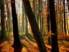 light mist in an autumn forest (MyOakForest) Tags: autumn sunlight mist forest herbst wald soe dunst sonnenlicht 10faves 25faves golddragon mywinners anawesomeshot aplusphoto diamondclassphotographer theunforgettablepictures colourartaward thegoldenmermaid thegardenofzen top20autumn