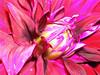 """Clic by Victor """"O Elemento"""" (.Tatiana.) Tags: pink españa flower macro u2 spain espanha flor rosa son alhambra happybirthday argh filho né legal loveu generalife beautifulday parabéns victorblas fotoclube 10faves flowerotica 22111993 clicbyvictor fotofeitapeloelemento 22112007 u2aquinaesquinaeeulánagalera tivequeesperarparapodercompraracredita demorapqo¨docatãonãoaumentameulimite istopqtenhoocartãohá15anosetrêscontasnobanco siteparavendadefotos httpwwwplanobfotodesigncom fototatianasapateiro"""