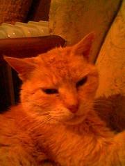 Ginger (TELPortfolio) Tags: family newzealand cat ginger cellphone wellington newtown 10millionphotos jalalspagesanimalkingdom