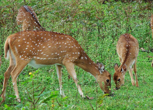 Deer with the fawn