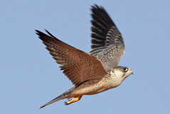 032054-IMG_4855 Grey Falcon (Falco hypoleucos) (ajmatthehiddenhouse) Tags: greyfalcon grayfalcon falcohypoleucos falco hypoleucos sa southaustralia bird 2007 australia globalbirdtrekkers