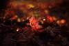 relic (futureancient) Tags: autumn leaves 50mm dof bokeh dreamy f095 canonf095 leicam8 futureancient
