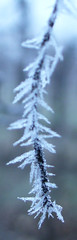 Spine. (inka7791) Tags: winter cold ice nature wine brina natura spine uva inverno freddo ghiaccio vigna